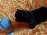 Котята от титулованных родителей
